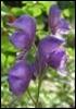 aconite purple