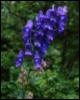 aconite blue