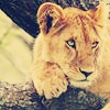 leo-sapiens: sceptic lion
