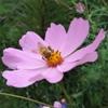 космея с пчелкой