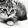 jess: stock; kitten [b/w]