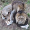 Yes these male lions ARE having sex