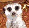 Caz: Meerkat