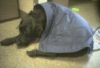 Jacqueline Russell-Terrier: Brodie in a blanket
