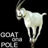 goat on a pole