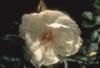 duprerose