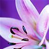 purple, tiger lily