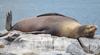 chillin seal