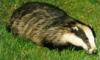 fluffy_badger userpic
