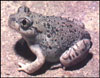New Mexico Spadefoot, Toad