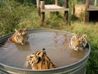 Stormy Weather: Tigers in a tub