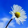 kedawen: flower