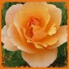 STOCK: peachy rose