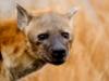 meni_the_hyena userpic