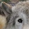 burrwolf userpic