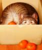 кот в мандаринах
