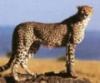 cheetah_fanatic userpic
