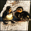 Two ducklings on a plank