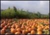 cincoflex: Pumpkin Patch