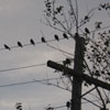 powerline birds