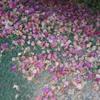 bougainvillea carpet