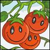 CheeryTomatoes