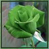 роза-зеленая
