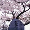 cherry blossom and grave