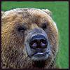 Jack Wilkinson: Snarling Bear