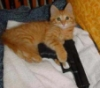 orange kitten gun