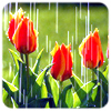 refreshed, tulips in rain