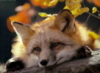 fox_aless userpic