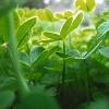 Giang (yang): clovers