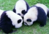 nosy pandas