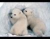 polarbearcubs