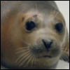 Petro the Harbor Seal