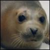 Petro the Harbor Seal