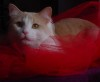 cat: chai red tulle