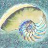 ammonite7