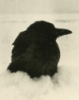 a black crow
