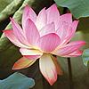 lotus // regenbaum
