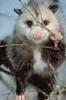 curious_reader: Oposum