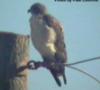 pahawkowl