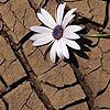 Mudflower