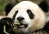 рная панда