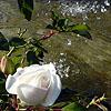 Valerie: last rose