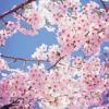 cherry bloss