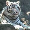 white tiger (normal)