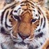 tiger tiger (normal)