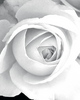 white rose abstraction
